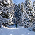 Des sapins couverts de neige