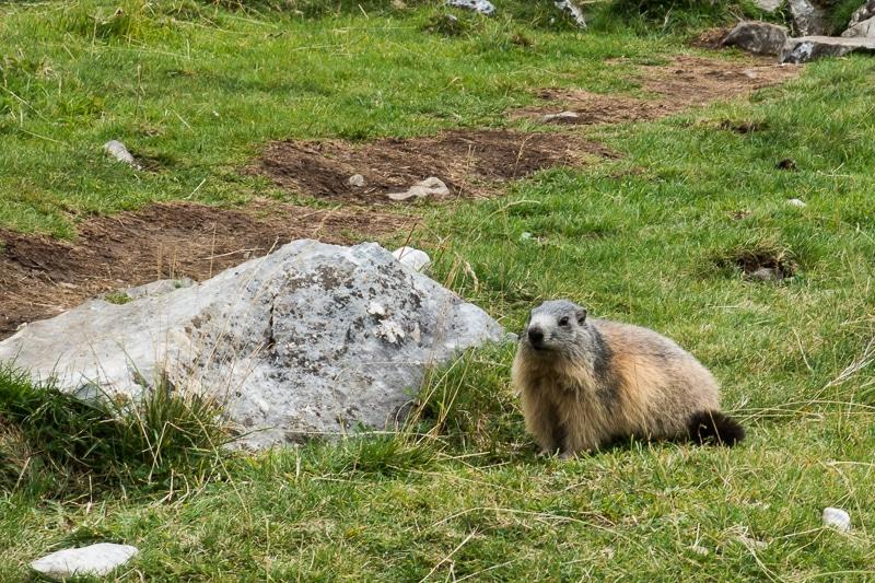 Marmotte des Pyrénées